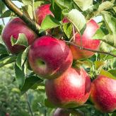 Alegerea pomilor potriviți pentru grădină