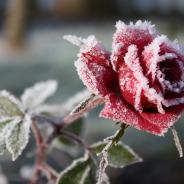Pregătirea trandafirilor pentru iarnă