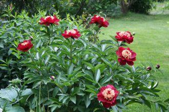 Plante rezistente pentru grădinari… leneși